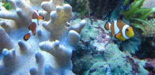 Mein Pärchen Anemonenfische .