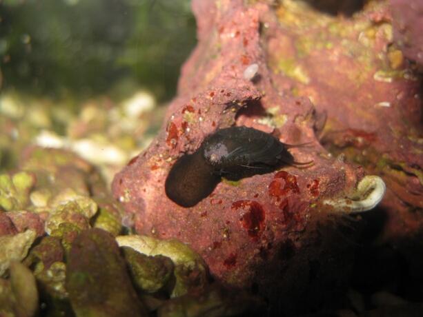 Die Stomatella - Ohrenschnecke gibt es in vielen Farbvarianten.