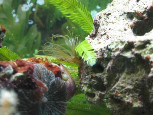 Glasrose - ein ungebetener Bewohner im Aquarium