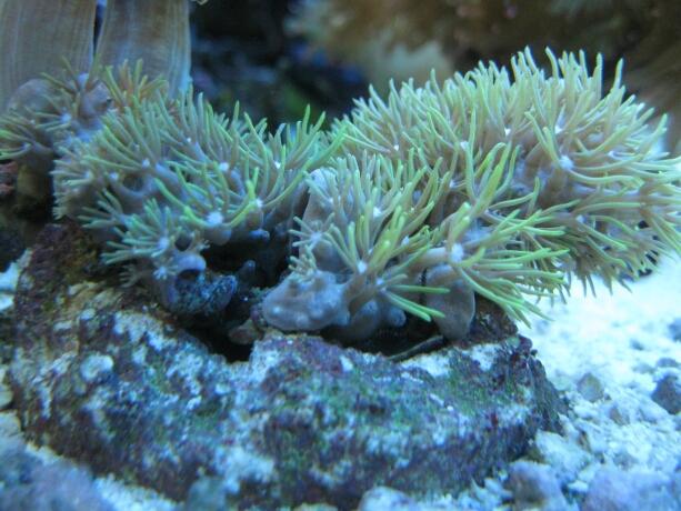 Die Hornkoralle wächst zusehends.Ich habe die Gummis entfernt.