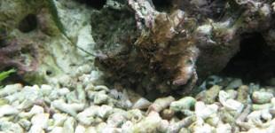 Kranzquallen im Polypenstadium (braune Püschel)