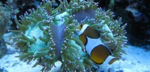 Wunderkoralle - Lieblingsplatz meiner Nemos