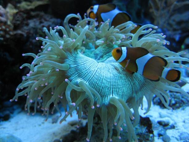 Catalaphyllia jardinei und Anemonenfische
