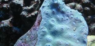 Tubinaria peltata mit eingezogenen Polypen