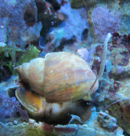 Die Babylonia frißt gern Würmer und lebt im Sand versteckt.