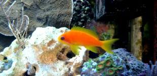 Juwelenfahnenbarsch - ein problemloser Fisch