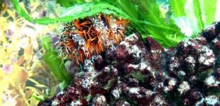 Seeigel mit Caulerpa Grünalgen
