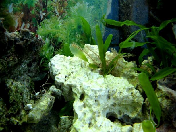 Am Anfang : Steine mit Caulerpa-Algen