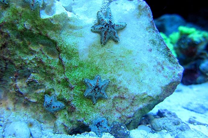 Asterina-Seesterne gibt es in vielen Varianten