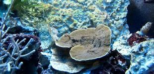 Montipora delicatula - so klein war sie am Anfang
