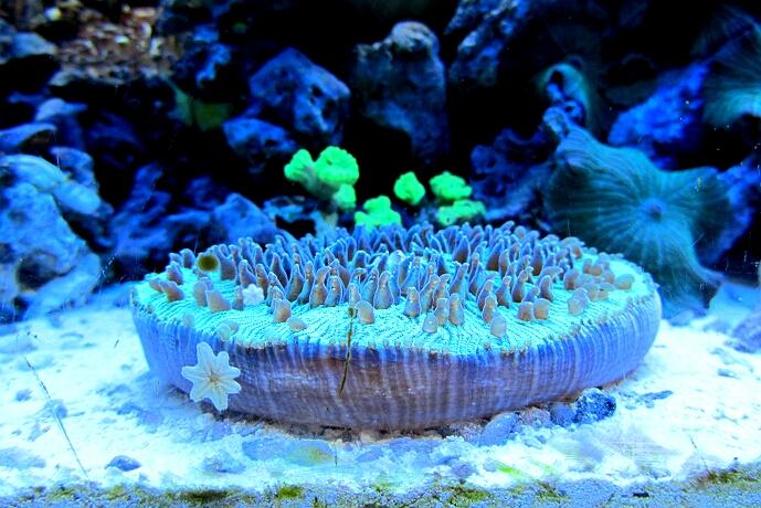fungia repanda plattenkoralle kleines meerwasseraquarium. Black Bedroom Furniture Sets. Home Design Ideas