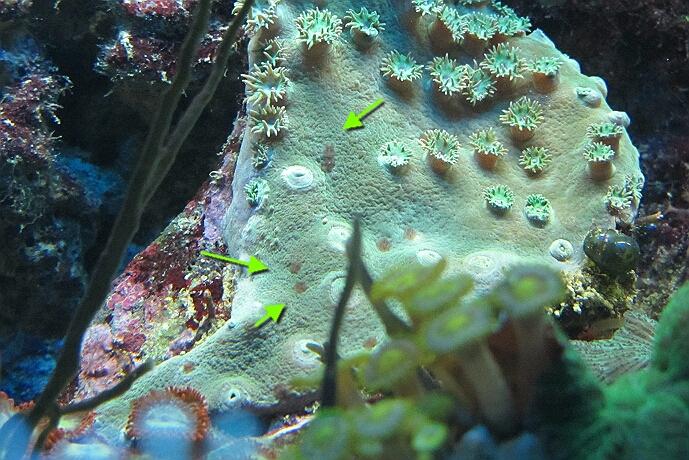 Planarien - kleine Strudelwürmer