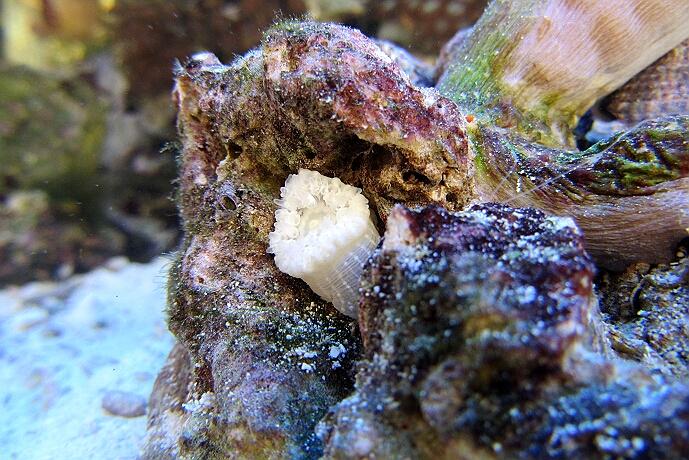 die kleine Sandanemone sucht sich ein ruhiges Plätzchen