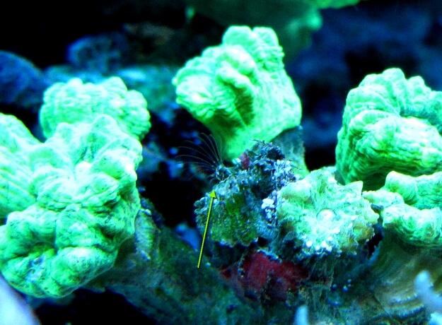 Seepocke-Septe (ein Kleinkrebs) in einer Caulastrea furcata