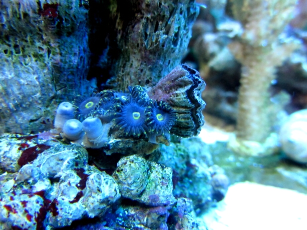Zooanthus blau - Krustenanemone