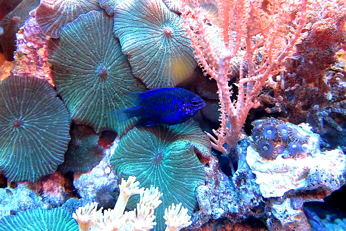 dieser Riffbarsch ist auch für kleinere Aquarien empfehlenswert
