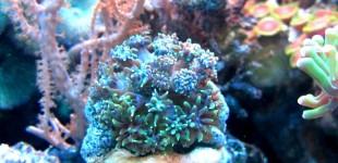 Galaxea sp. eine LPS Koralle