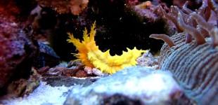 gelbe Seegurke - Colochirus robustus