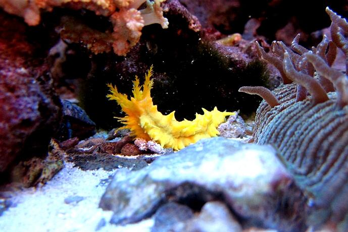 gelbe Seegurke - cucumaria miniata