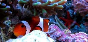 Anemonenfisch schaut mistrauisch ins Objektiv