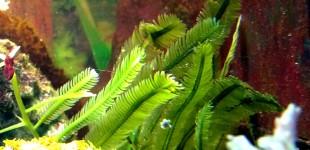 hat der Seeigel zum fressen gern -Caulerpa taxifolia - Kriechsprossalgen