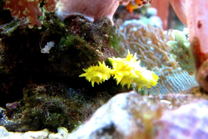 die gelbe Seegurke kurz vor der Teilung