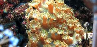 Tubinaria peltata - mal flach wie eine Haut, oder mir ausgefahrenen Polypen