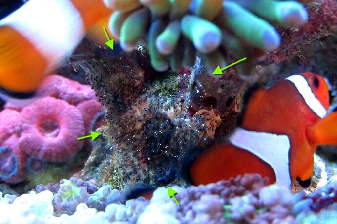 Gelege meiner Anemonenfische