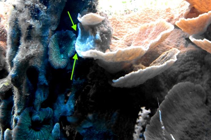 zwei Korallen vernesseln sich