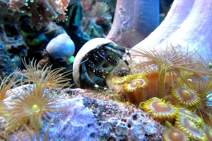 Clibanarius virescens - Weißfuß Küsteneinsiedler