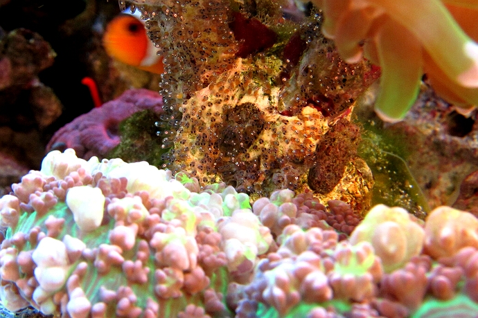 Fischbrut der Anemonenfische