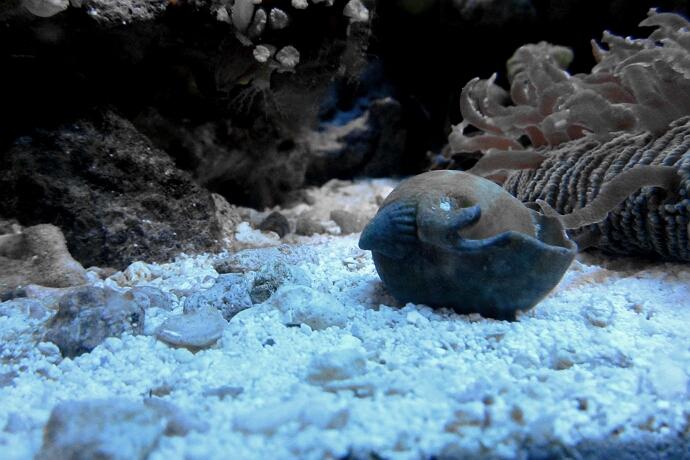 Hipponix auf einem leeren Schneckenhaus