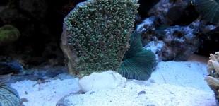 Hydnophora pilosa - kurz nach dem einsetzen