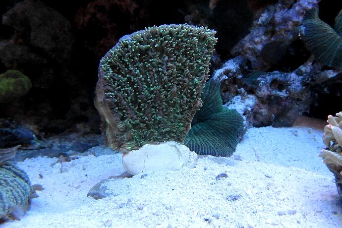 Hydnophora pilos - kurz nach dem einsetzen