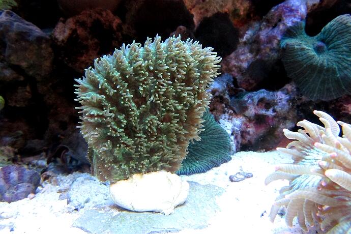 Hydnophora pilosa - LPS Koralle
