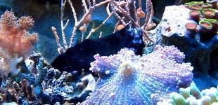 Atrosalarias fuscus - Schreckfärbung