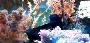 Schleimfisch - dunkelblaue Tagesfärbung