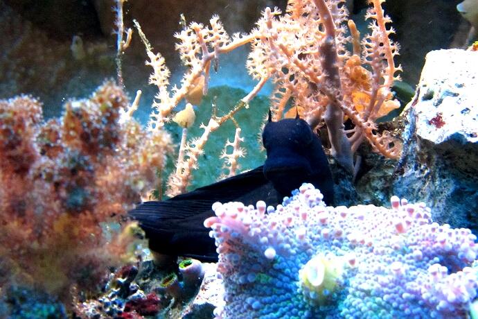 Schwarzer Schleimfisch