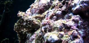 Clavularia sp. ist eine Röhrenkorallen Kolonie