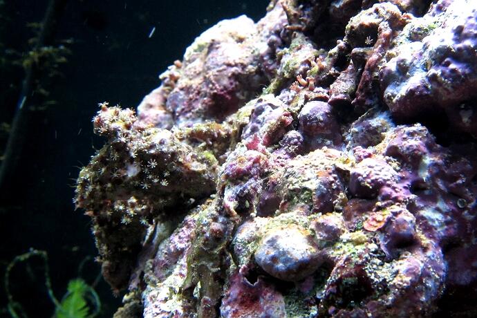 Clavularia sp. - eine Röhrenkorallenkolonie