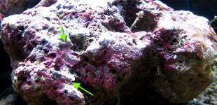 Meeresflechte - Kalkrotalgen