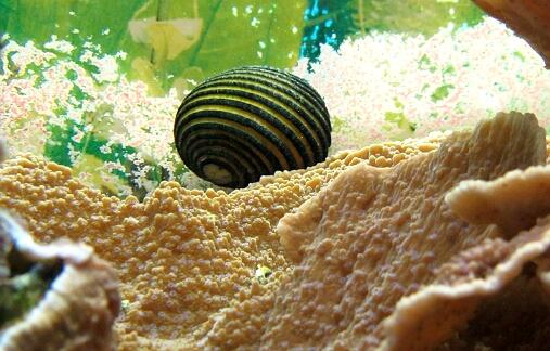 Nerita lineata - eine Napfschnecke