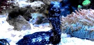Schwarzer Schleimfisch am Morgen