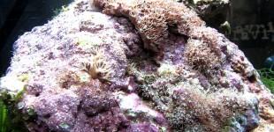 Clavularia Kolonie