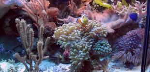 Meine Anemonenfische bewohnen eine Euphyllia