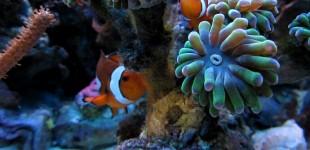Anemonenfische an ihrer Euphyllia