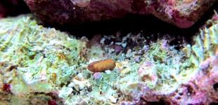 In meinem nano lebt auch die kleine Seedattel (Muschel)