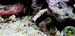 Diesen Röhrenwurm nennt man auch Muschelsammlerin.