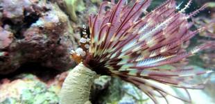 Sabellastarte - ein wunderschöner Röhrenwurm