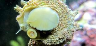 Die Sternschnecke putzt fleissig Algen von den Scheiben.